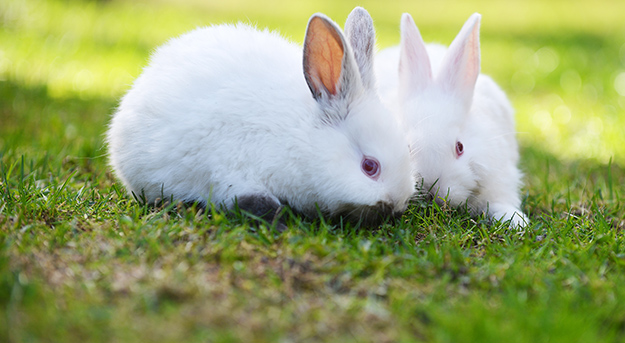 © Shutterstock - two funny white rabbits in grass - http://www.shutterstock.com/fr/pic-277383638/stock-photo-two-funny-white-rabbits-in-grass.html? data-cke-saved-src=RnEFyOUDFetVQIlcBr0B4w-1-1 src=RnEFyOUDFetVQIlcBr0B4w-1-1
