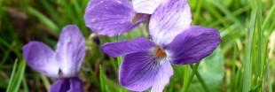 Bienfaits et plaisir des violettes : pressez-vous !