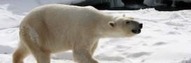 'L'ours polaire s'attaque aux dauphins à cause du changement climatique'