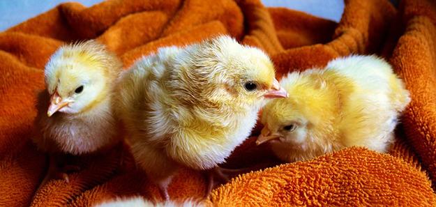 poussins-males-poulets-poules-pondeuses-01