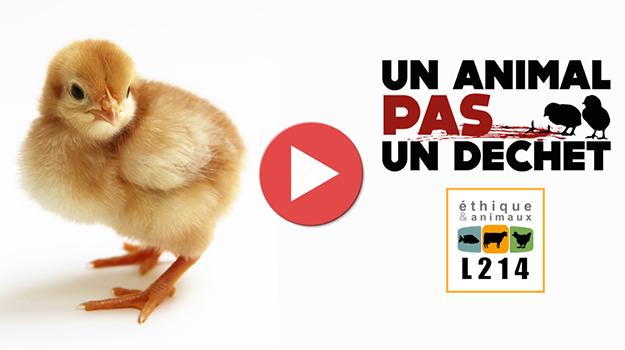 poussins-males-poulets-poules-pondeuses-03
