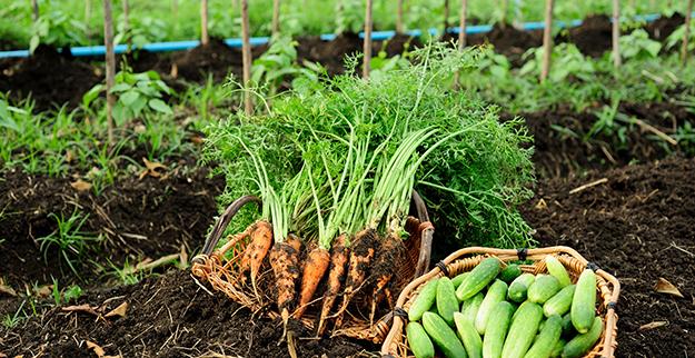 ph du sol Carottes au potager bio © Shutterstock http://www.shutterstock.com/fr/pic-221064382/stock-photo-carrots-organic-farm.html