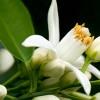 Parfum maison : Eau de la Reine de Hongrie, pour capturer l'été