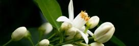 Parfum maison: Eau de la Reine de Hongrie, pour capturer l'été