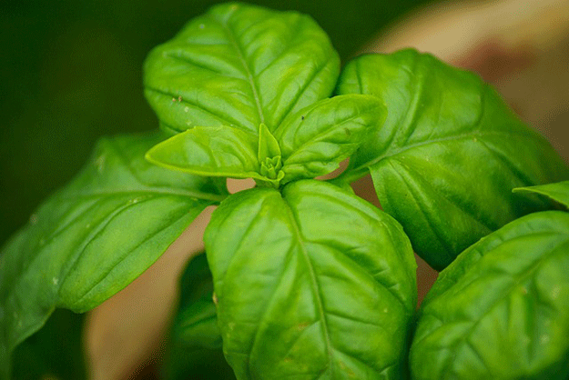 moustique-basilic-plante-anti-moustiques
