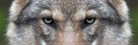 Le loup fascine: la vérité derrière mythes et légendes