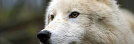 Le loup plus intelligent que l'homme?
