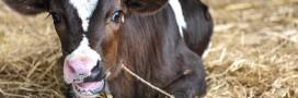 Bien-être de l'animal en élevage standard ou élevage bio, que dit la loi?