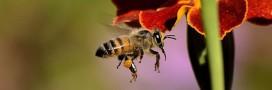 Les abeilles aussi sont accro à la caféine!
