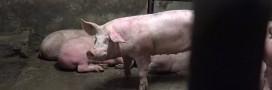 Condition animale: la vidéo choc de l'abattoir d'Alès