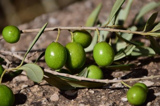 décembre, jardin, olivier