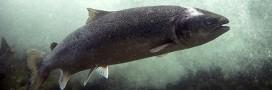 Le poisson OGM Frankenfish finalement autorisé à la consommation