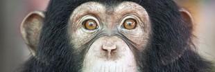 Test sur les animaux : plus de chimpanzés aux Etats-Unis