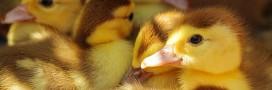 Foie gras: nouvelles vidéos choc sur les méthodes de production