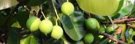 Huile de calophylle, l'huile spéciale cocooning