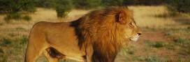 Les lions d'Afrique et d'Inde classés parmi les espèces en danger par les États-Unis