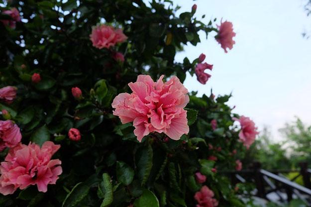 plantes-interieur-decembre-azalée