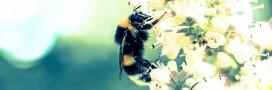 Pesticides toxiques pour les abeilles: l'ANSES préconise des restrictions élargies et durables