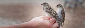 Le comptage national des oiseaux de jardin aura lieu ce weekend