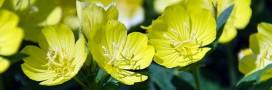 Onagre: la fleur qui prend soin des femmes