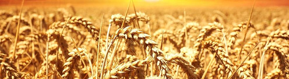 Tout savoir sur les OGM
