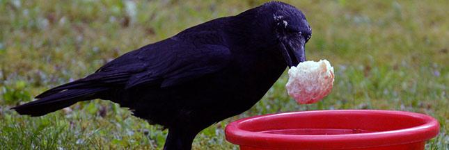 corbeau intelligence animaux