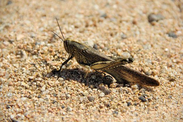 insectes-comestibles-sauterelle