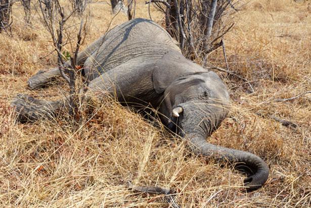 shutterstock-chasse-elephant-ivoire