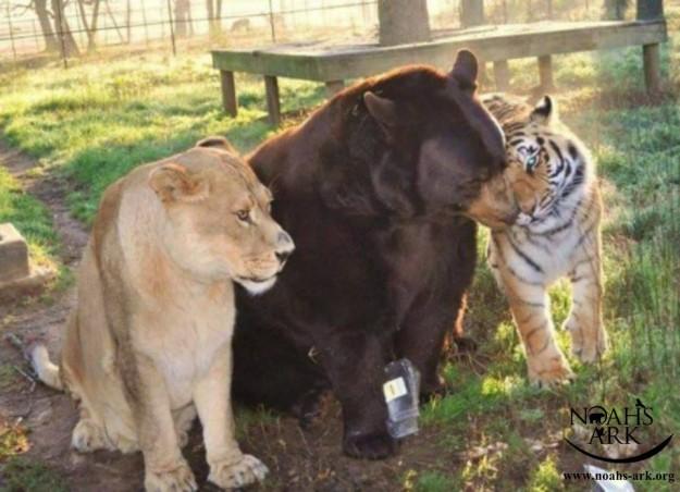 Amitié insolite: un tigre, un ours et un lion