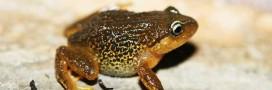 La grenouille aux sourcils jaunes: une nouvelle espèce découverte en Colombie