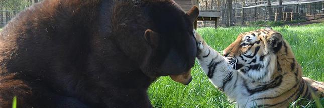 Amitié animale insolite entre un ours, un lion et un tigre