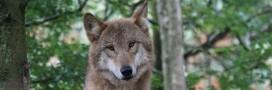 Le loup, une espèce à abattre?