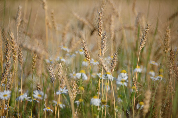 wheat-879217_640-biodynamique-raisonnee-le-point-sur-les-differentes-formes-dagriculture-1