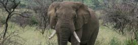 Le massacre des éléphants en pleine expansion