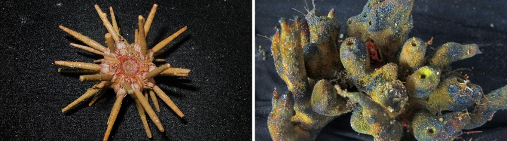 recif-coralien-amazone-