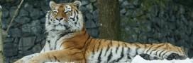 Les tigres menacés par la médecine traditionnelle chinoise [Vidéo]