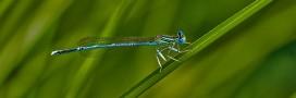 Des libellules menacées de disparition en France