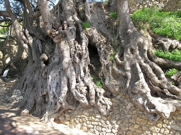 vieux arbres olivier
