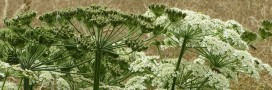 Plante invasive : évitez la toxique Berce du Caucase