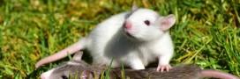 Après le Melomys rubicola, 20 espèces de mammifères pourraient disparaître à cause de l'homme