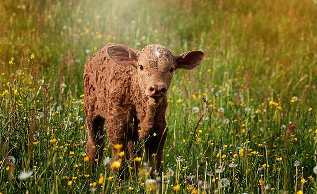 veau élevage bio
