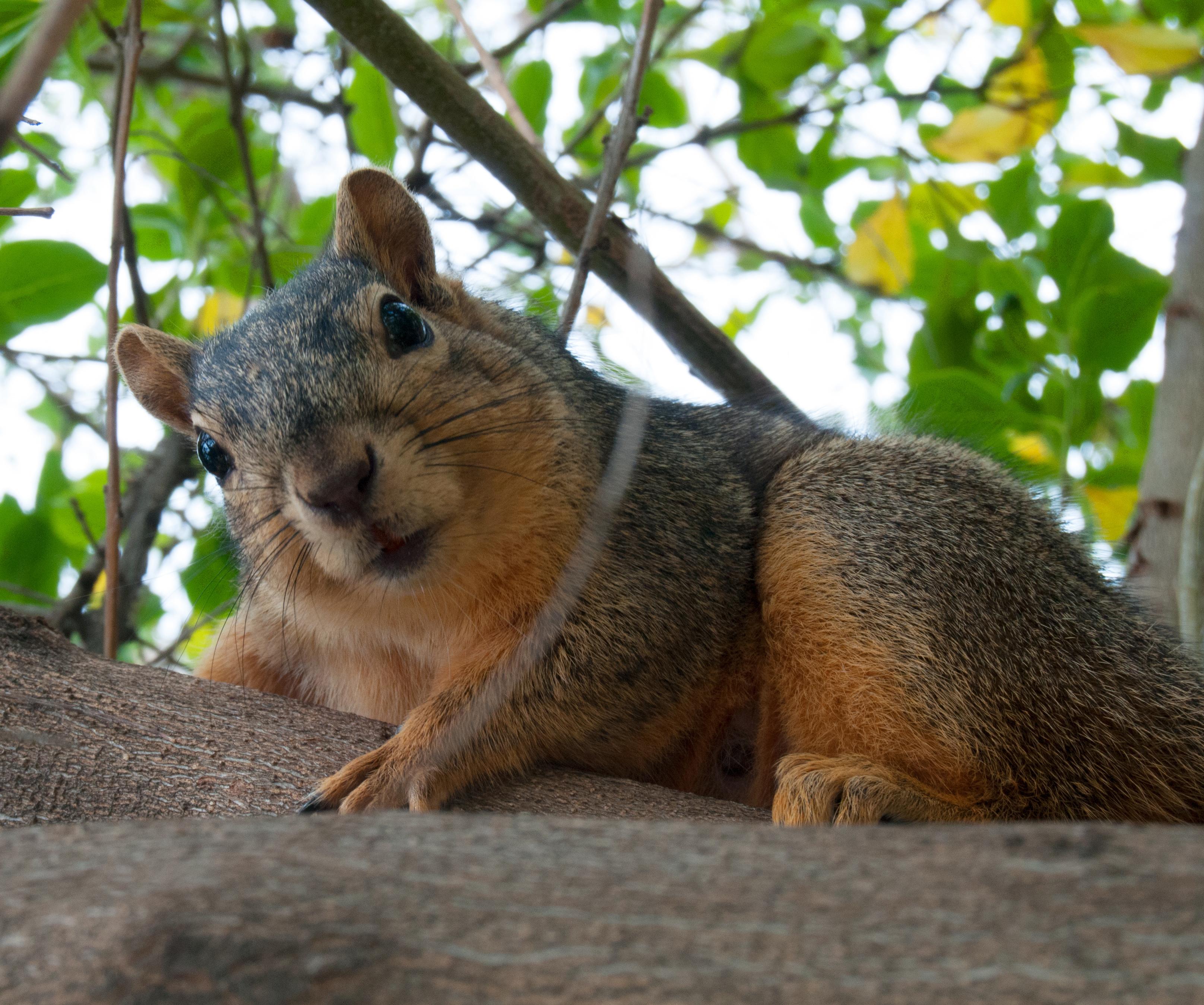 écureuil invasif