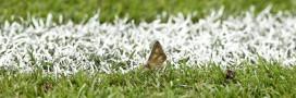 Euro 2016: le stade de France couvert de papillons de nuit!