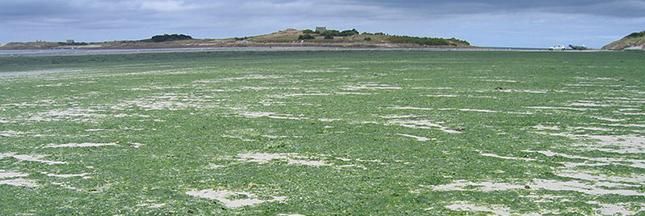 prolifération des algues vertes en Bretagne