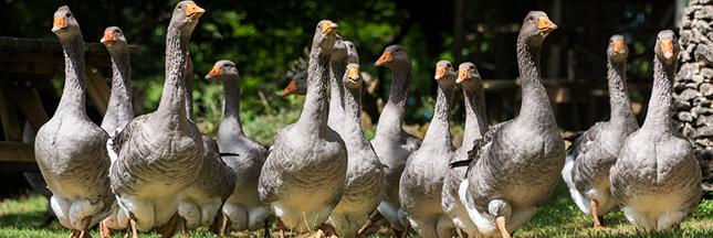grippe aviaire canards Dordogne