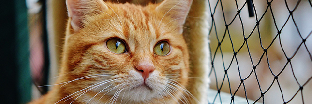 adopter un chat, chat roux