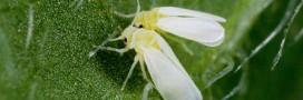 Bemisia tabaci: l'insecte qui résiste aux pesticides aux États-Unis