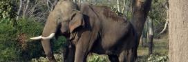 L'éléphante qui fuyait les inondations est morte