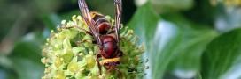 Un été propice à une invasion massive du frelon asiatique