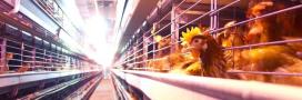 Alimentation: Aldi supprime les oeufs de poule en cage de ses rayons